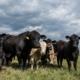 Care este diferența între carnea Black Angus și carnea de vită normală?