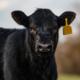 Întrebări despre rasa de vite Black Angus